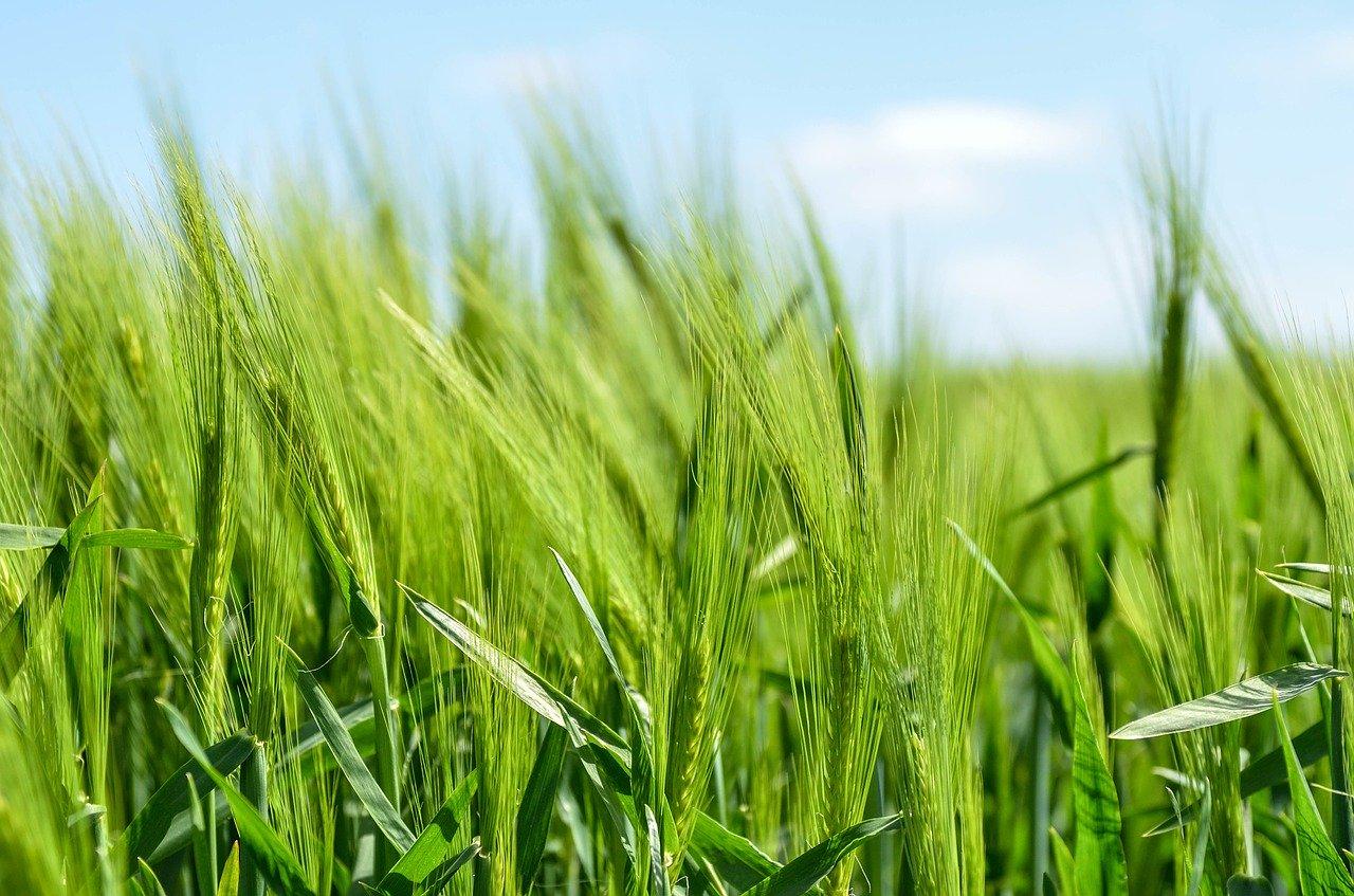 Aprovizionarea cu apă în cultura grâului de toamnă, în limite satisfăcătoare şi apropiate de optim în perioada 21-27 noiembrie